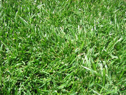 Tall fescue grass seed 50lb for Tall red grass
