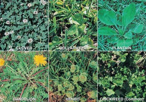 broadleaf weed